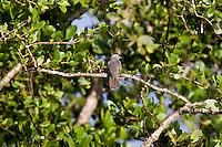 Brush Cuckoo, Daintree River, Queensland, Australia