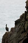Spotted Shag (Phalacrocorax punctatus), Kaikoura, South Island, New Zealand