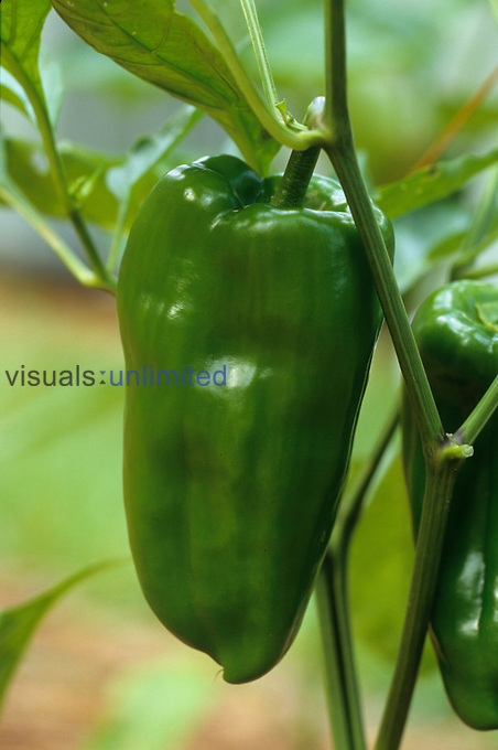 Green Bell Pepper ,Capsicum annuum,.