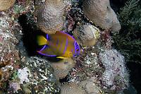 Queen Angelfish, Holacanthus ciliaris, juvenile
