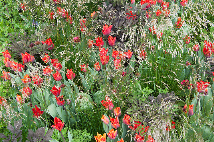 Tulipa sprengeri interplanted with grasses, The Telegraph Garden, RHS Chelsea Flower Show 2015 designed by Marcus Barnett.