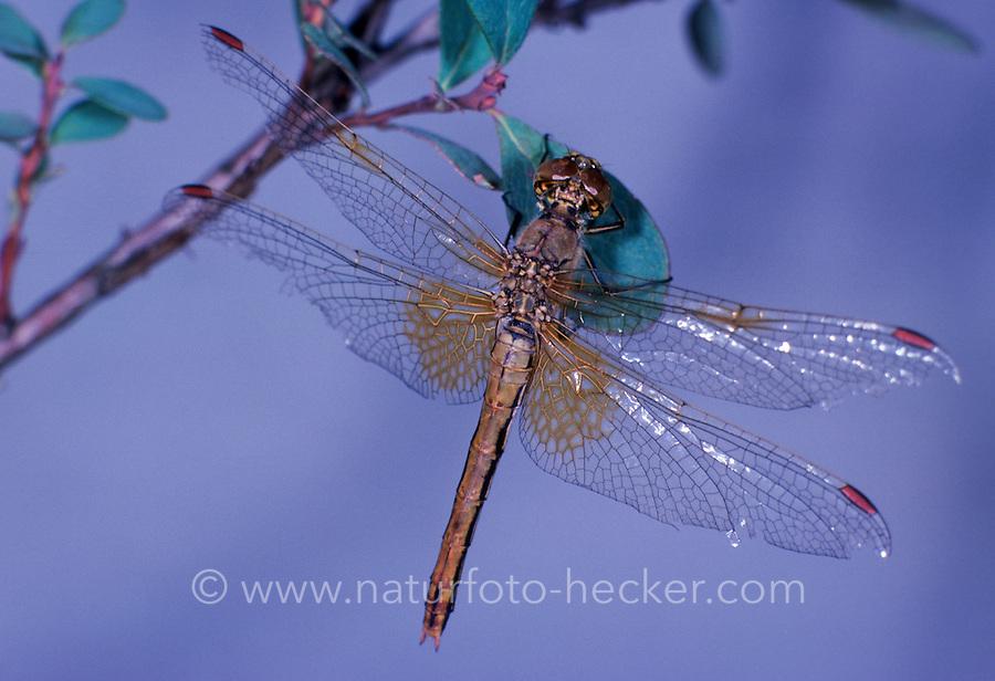 Gefleckte Heidelibelle, Sympetrum flaveolum, yellow-winged darter, yellow winged sympetrum