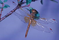 Gefleckte Heidelibelle, Sympetrum flaveolum, yellow-winged darter, yellow winged sympetrum