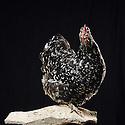 13/10/07 - THIERS - PUY DE DOME - FRANCE - 41 Exposition d aviculture, Championnat Regional du Bantam Club Francais. Poule Orpington Cailloutee - Photo Jerome CHABANNE