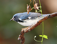 Adult male black-throated blue warbler in fall migration