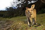 Eastern Grey Kangaroo (Macropus giganteus) sub-adult, Pebbly Beach, Murramarang National Park, New South Wales, Australia
