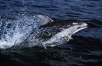 nb121. Pacific White-sided Dolphin (Lagenorhynchus obliquidens) leaping. British Columbia, Canada, Pacific Ocean..Photo Copyright © Brandon Cole.  All rights reserved worldwide.  www.brandoncole.com..This photo is NOT free. It is NOT in the public domain...Rights to reproduction of photograph granted only upon payment of invoice in full.  Any use whatsoever prior to such payment will be considered an infringement of copyright...Brandon Cole.Marine Photography.http://www.brandoncole.com.email: brandoncole@msn.com.4917 N. Boeing Rd..Spokane Valley, WA 99206   USA..tel: 509-535-3489