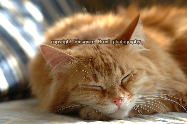 Close up of a long haired red tabby cat sleeping with a paw under its chin.