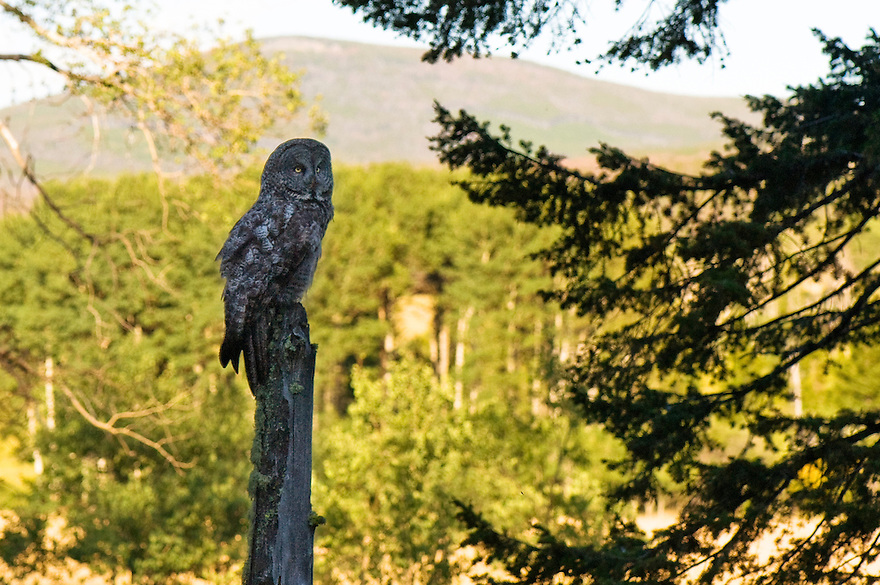 A great gray owl is seen near the Devil's Footstool in Lewis and Clark National Forest east of White Sulphur Springs, Montana.
