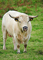 White Park bull, Llandeilo, Carmarthenshire, Wales....Copyright..John Eveson, Dinkling Green Farm, Whitewell, Clitheroe, Lancashire. BB7 3BN.01995 61280. 07973 482705.j.r.eveson@btinternet.com.www.johneveson.com