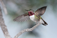 Broad-tailed hummingbird - Selasphorus platycercus - Adult male