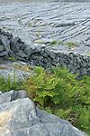 Fougères et dalles de calcaire. ile d'Inishmore.Ferns and limestone walls . Inishmore island.