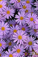 Utah daisy, Burr Trail<br />