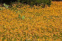 Close-up of Coreopsis and prickly pear cactus in a large field