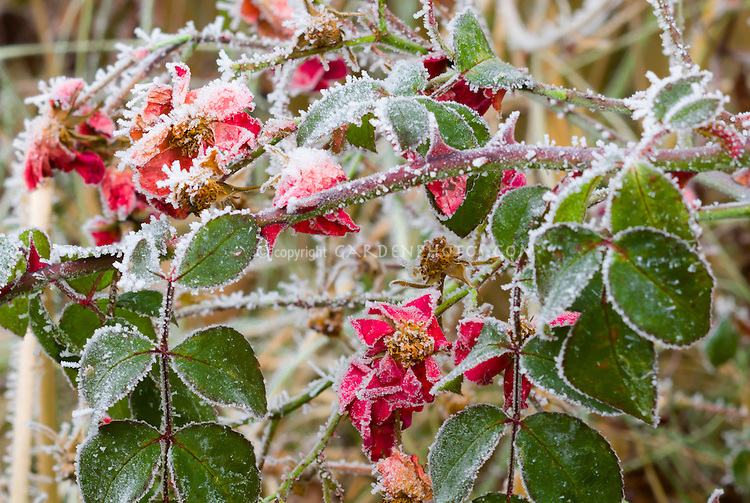 Rosa Suffolk ('Kormixal') roses in winter frost snow ice on plant leaves and flowers . Rime on edges