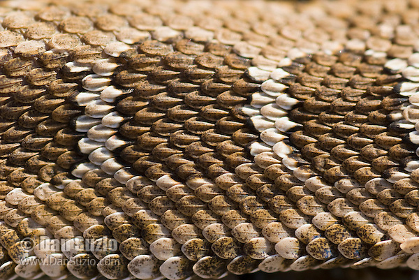 Dorsal scales of Northern Pacific rattlesnake, Crotalus viridis oreganus.  Mount Diablo State Park, California