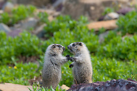 Young Hoary Marmots (Marmota caligata) wrestle--wrestling is a common marmot behavior. Glacier National Park, Montana.  Summer.