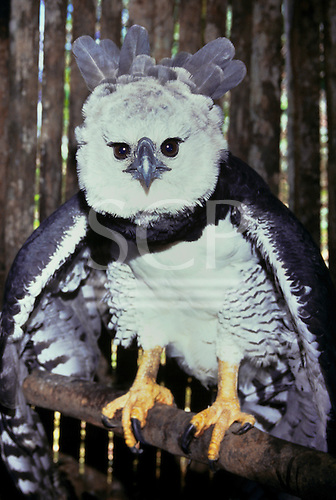 Assurini village of Koatinemo, Amazon, Brazil. Aguia rei - harpy eagle.