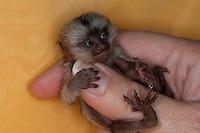 Weißbüscheläffchen, Weißbüschel-Äffchen, Weißbüschelaffe, Weißbüschel-Affe, Affe Äffchen, 5 Tage alt, Aufzucht eines verwaisten Tieres, Callithrix jacchus, common marmoset