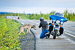 A motorcycler photographing a gray wolf along George Parks Hwy, Interior Alaska, Summer.