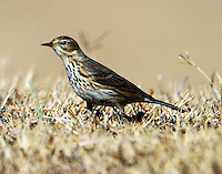 American pipit in non-breeding plumage