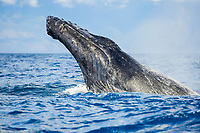 Breaching Humpback whale, Megaptera novaeangliae, off the island of Maui, Hawaii.