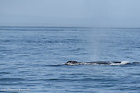 Humpback  Whale releases a breadth of air as it surfaces before breathing deeply to make another dive. whale surfaces in the Juan de Fuca Straits. It had been diving to feed on herring schools at the edge of an underwater ridge.