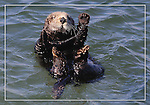 Sea otter, FB-S180