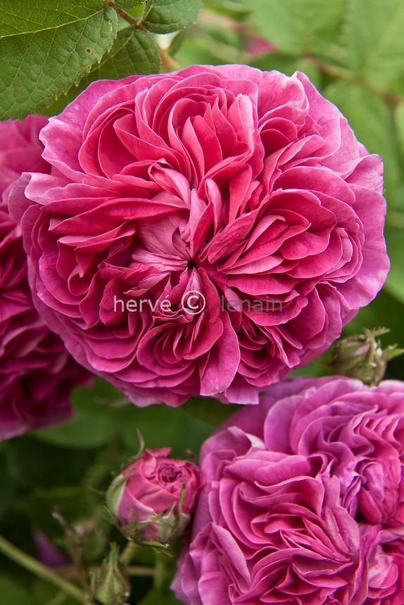 Rose 'Charles de Mills', Rosa 'Charles de Mills'