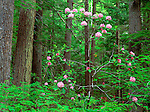 Olympic National Forest, WA  <br /> Pacific rhododendron (R. macrophyllum), state flower of Washington in an old growth hemlock/fir forest on Mt. Townsend
