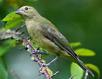 Adult female painted bunting in tree