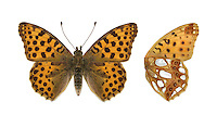 Queen of Spain Fritillary - Issoria lathonia