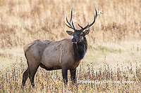 01980-03012 Elk (Cervus elaphaus) bull male, Yellowstone National Park, WY
