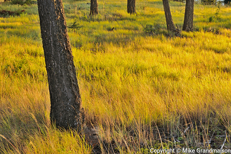 Pine trees and grasses at sunset. Redstreak Campground, Kootenay National Park, British Columbia, Canada