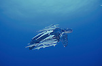 1st Place; 2002 BBC/BG Wildlife Photographer of the Year (Gerald Durrell Award for Endangered Wildlife category): Female Leatherback Turtle, Dermochelys coriacea & remoras swims offshore Juno Beach, Florida, United States