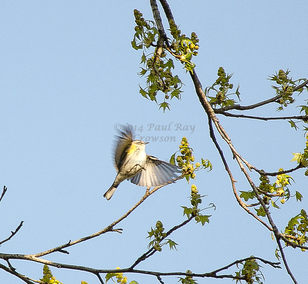 Yellow-rumped Myrtle Warbler Flying and Landing in Sweetgum Tree
