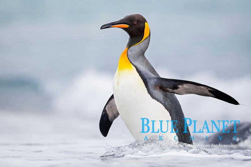 king penguin, Aptenodytes patagonicus, adult, Salisbury Plain, Bay of Isles, South Georgia Island, Atlantic Ocean