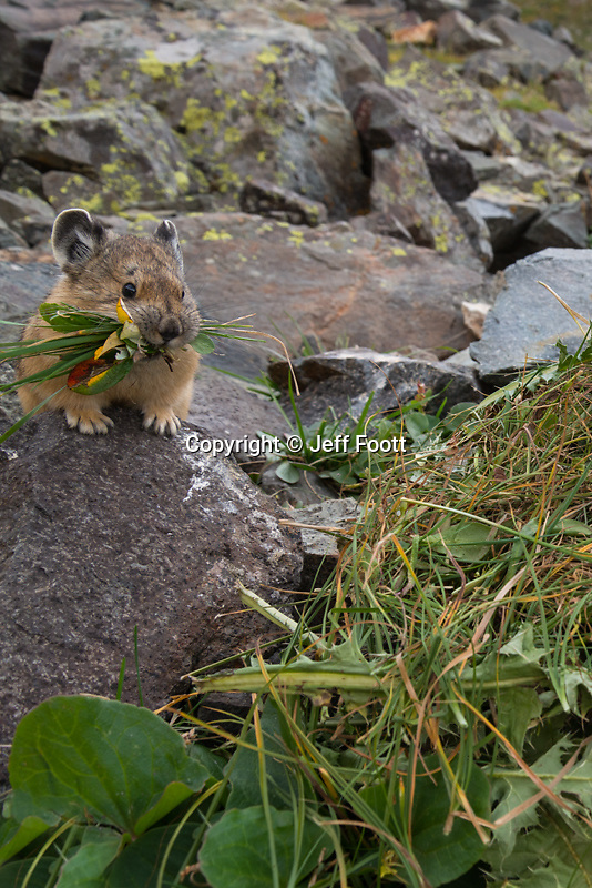 Pika (Ochotona princeps),on hay pile in Alpine zone in mountains of Colorado.