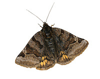Burnet Campanion - Euclidia glyphica