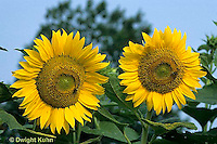 HS13-067x   Sunflower - turning towards sun, Giganteus variety - Helianthus spp.