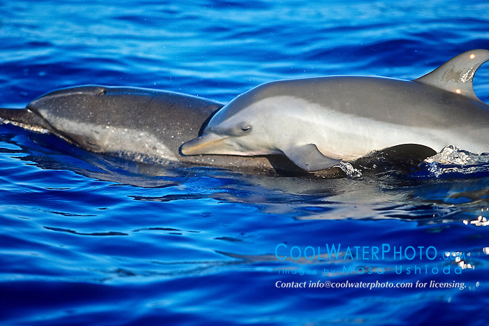 pantropical spotted dolphin, Stenella attenuata, calf, riding on mother's back, offshore, Kona Coast, Big Island, Hawaii, USA, Pacific Ocean