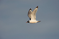 Adult Franklin's Gull (Larus pipixcan) in breeding plumage in flight. Alberta, Canada. June.