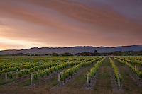 New Zealand, South Island, Marlborough Region, Renwick near Blenheim: Vineyards at dawn | Neuseeland, Suedinsel, Marlborough Region, Renwick bei Blenheim: Weinberge im Abendlicht