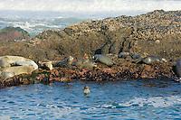 Harbor Seals (Phoca vitulina) basking on rocks at low tide.  Pacific Northwest.  Summer.