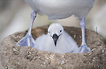 Falkland-Islands; Black-browed albatros, chick sitting underneath mother