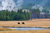 Buffalo in meadow with hot springs. Yellowstone National Park, WY