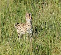 Serval Cat (Felis (Leptailurus) serval) on the prowl, Masai Mara