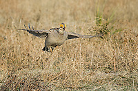 Lesser Prairie Chicken, Canadian Texas
