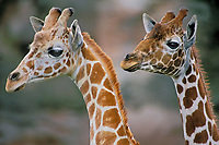 Reticulated giraffes (Giraffa camelopardalis).(Oregon Zoo, Portland Oregon)