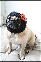 BNPS.co.uk (01202 558833)<br /> Pic: JessicaFurtado/BNPS<br /> <br /> ***Please use full byline***<br /> <br /> Autumn leaves hat<br /> <br /> Barking mad entrepreneur Jessica Lynne has set tails wagging after launching her own fashion line for pug dogs. The 22-year-old's hand knitted hats and costumes transform the cute canines into characters such as a ladybird, an alien, an aviator, Batman and even Minnie Mouse. Dog-mad Jessica was inspired to launch her canine couture after knitting her adopted pug a wacky hat to keep him warm through cold winters. The Snuggly Pug Alien hat was such a hit with fellow pug owners she founded her company All You Need is Pug while still studying for a university degree in English. Her crazy creations have also had the thumbs up from the dinky dogs themselves, who are happy to parade them with pride.